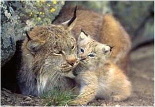 Lynx: Adorable